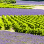 lavender fields with vineyards, Rhone-Alpes, France
