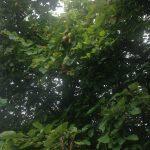 Mundklingen Quittenbäume